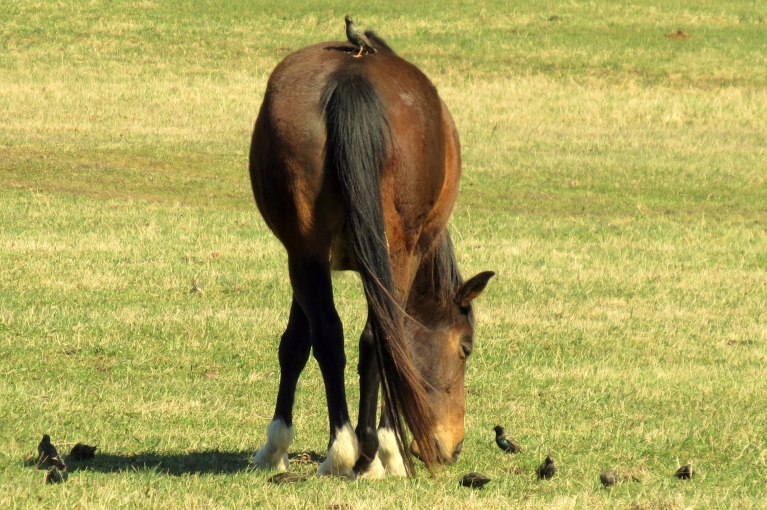 """Diena saulaina, zirgus pavada strazdu """"eskorts"""". Nezinu kā citās vietās, bet pie manis strazdu šogad vairāk, kā pārējos gadus."""