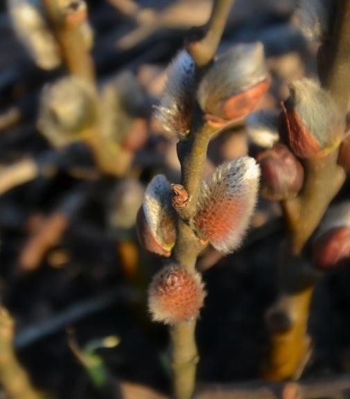 Foto: Rūdolfs. Pūpoliņus apspīd zemie pavasara vakara saules glāsti (8.03.)