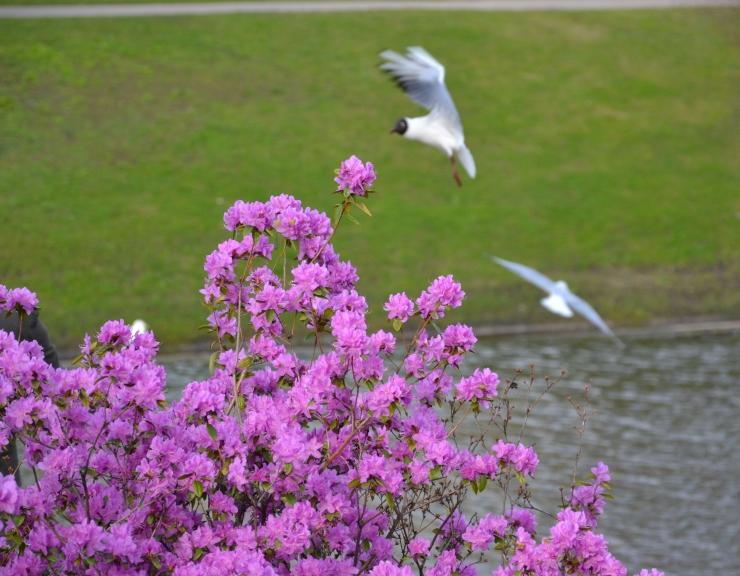 Arī Miglas galerijā fotogrāfētie gaiši violetie rododendri pie Operas turpina ziedēt, aiz tiem - cilvēki baro ķīrus, kas maizi iemanījušies ķert jau lidojumā.