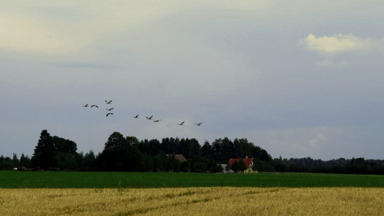 Dzērves palielos baros grozās ap labības laukiem.