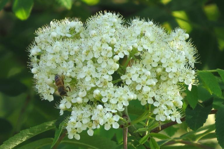 Bagātīgi zied pīlādžu koki.