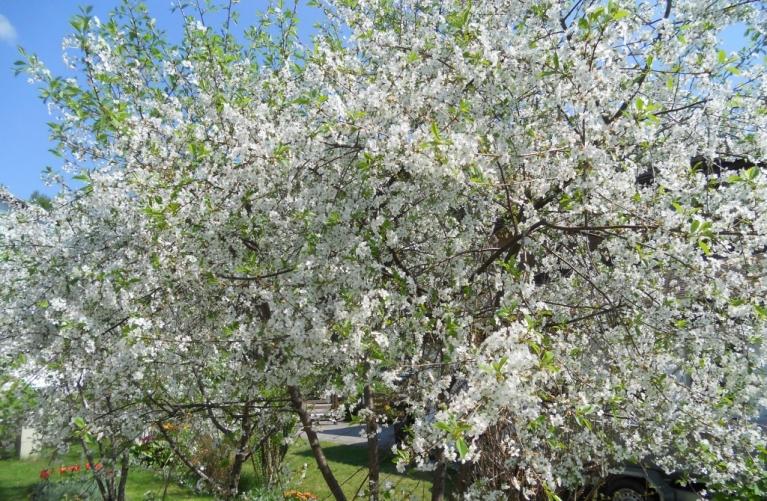 Autors: Biruta. Ķirši tik pilni ziediem, ka lapas neredz, 18.05.