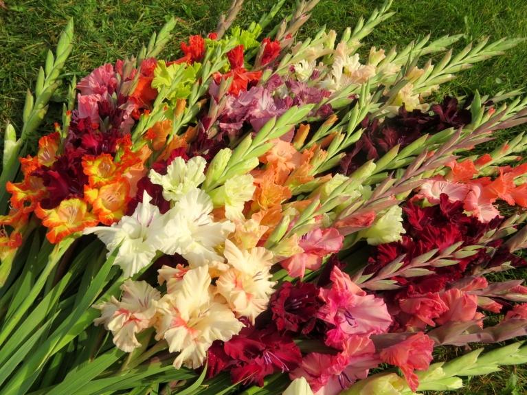 Allažnieka - gladiolu audzētāja Jāņa Imanta Kalniņa dārzā vēl skaisti zied gladiolas.