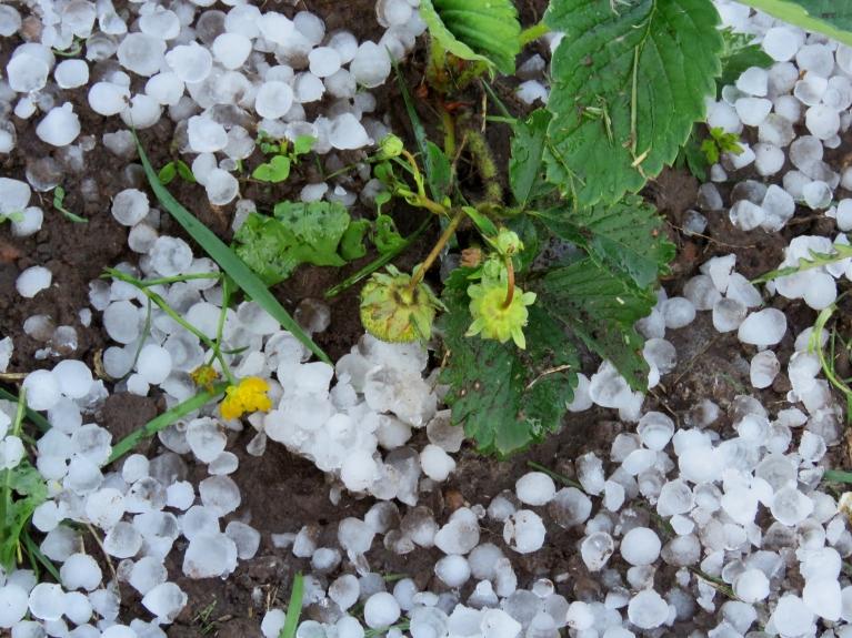 Stīveros zeme balta, bet 5 km attālāk daži tveicē un putekļos turpina kaplēt kartupeļus.
