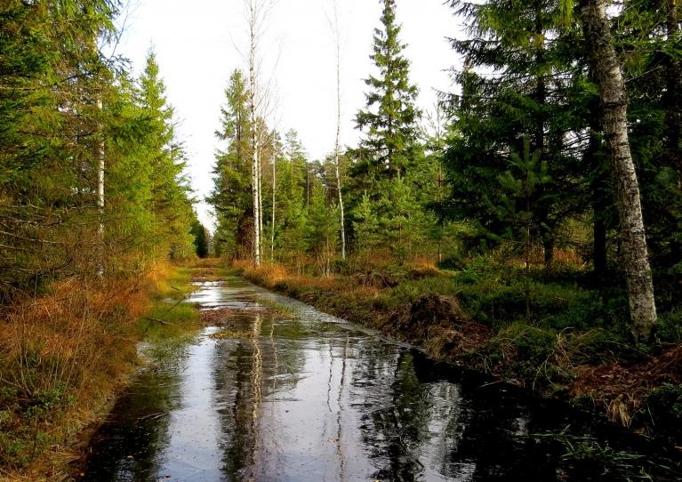 Pēc 3 dienu kailsala meža ceļā peļķes sasalušas caurspīdīgā ledū.