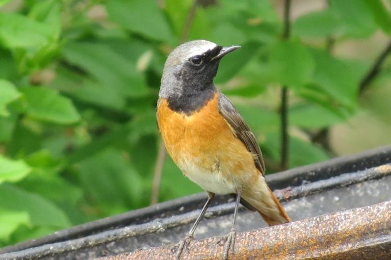 Turpinu vērot putniņus - šis laikam ir erickiņš.