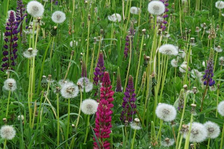 Pozitīvs atklājums - pļavā uzziedējušas lupīnas.