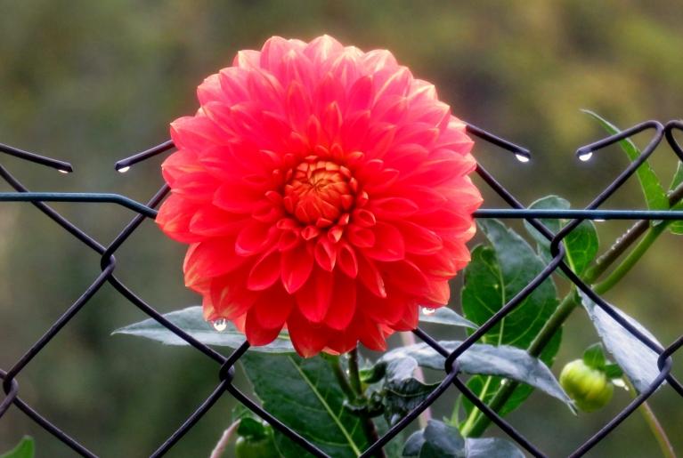 9. oktobra rīts, nedaudz smidzina. Nez, vai dālija nojauš, ka tai atvēlētas vien divas dienas ziedēšanai?