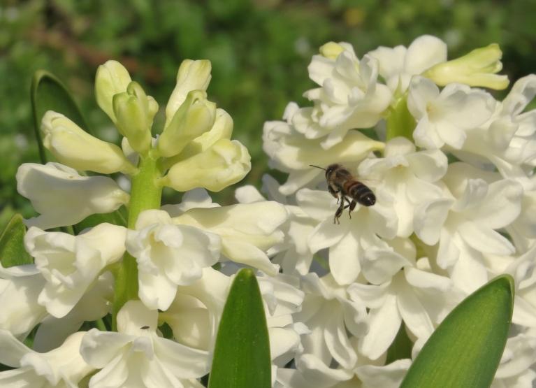 Smaržīgajās hiacintēs rosās bites.