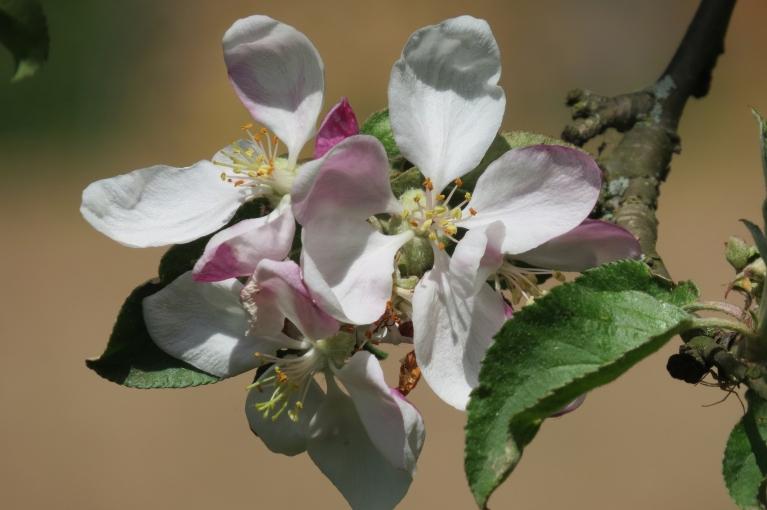 Mana dārza ābeles pēc pagājušā gada trakās ābolu ražas ziedus raisa ļoti normētā daudzumā.
