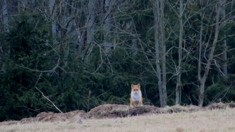 Mežmalā manu darbošanos ar aizdomām vēro lapsēns.
