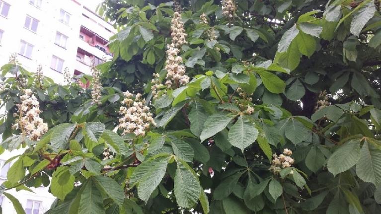 Vēl kastaņa ziedi  (Rīga 04.05.2014)