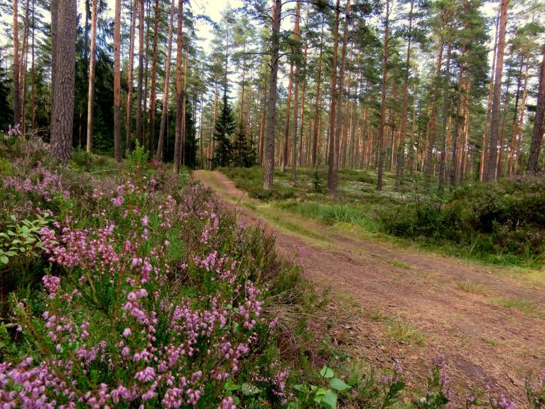 Mežos pašlaik zied  virši- ļoti laba veselibas tēja.