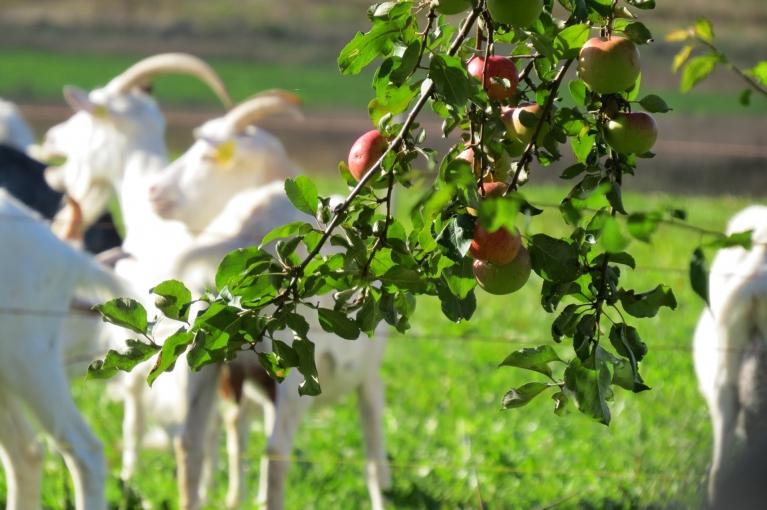 Siguldas pusē šogad bagātīga ābolu raža