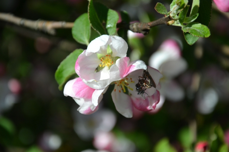Maija siltajā saulē ar jauku smaržu uzzied ābeles, kas pievilina daudzus kukaiņus.
