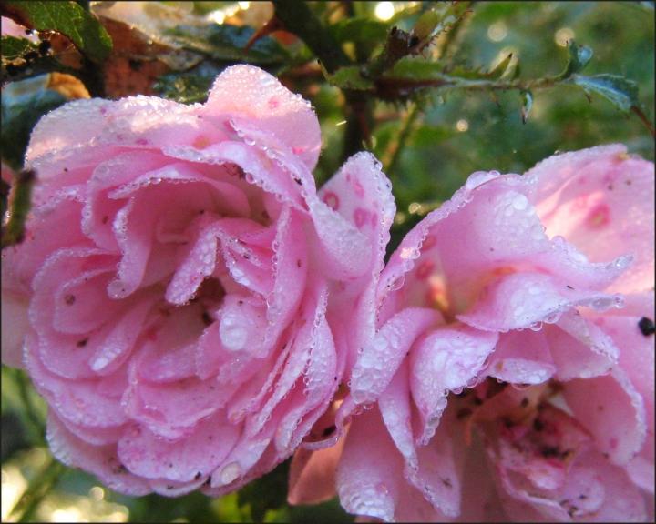 Nokrītot miglai skaistas rasas pērlītes klāj visus ziedus.