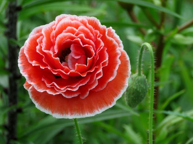 Baudot sauli un siltumu, dārzā katru dienu uzplaukst pa jaunam vasaras magones ziedam.