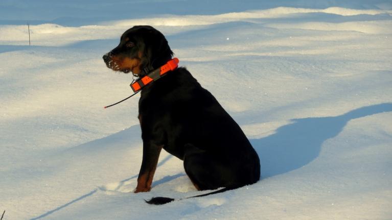 Suņi pacietīgi gaida medību sākumu.