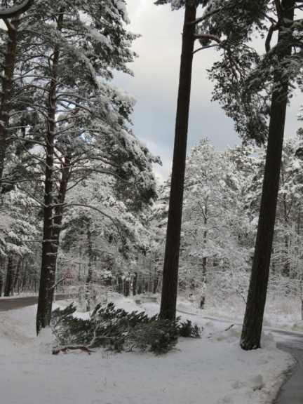 Mežā daudzviet sniega dēļ mētājas nolūzušie koku zari