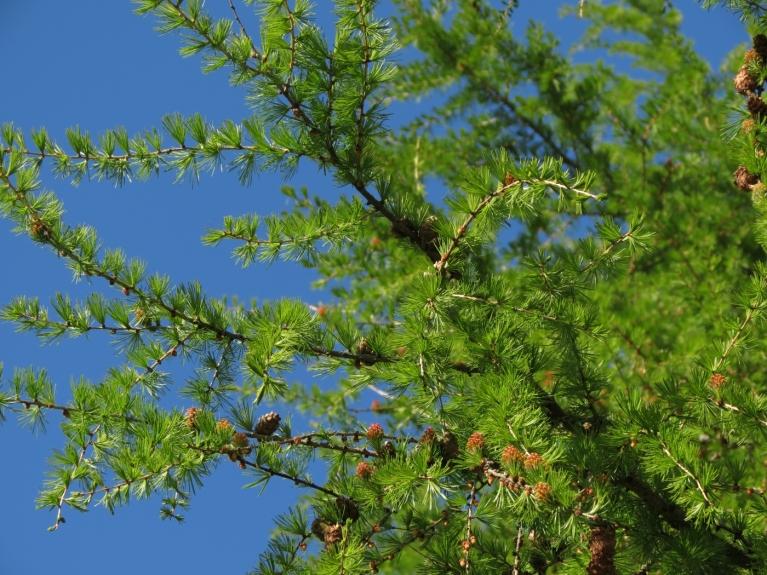 Maijs - lapegles koši zaļais tonis