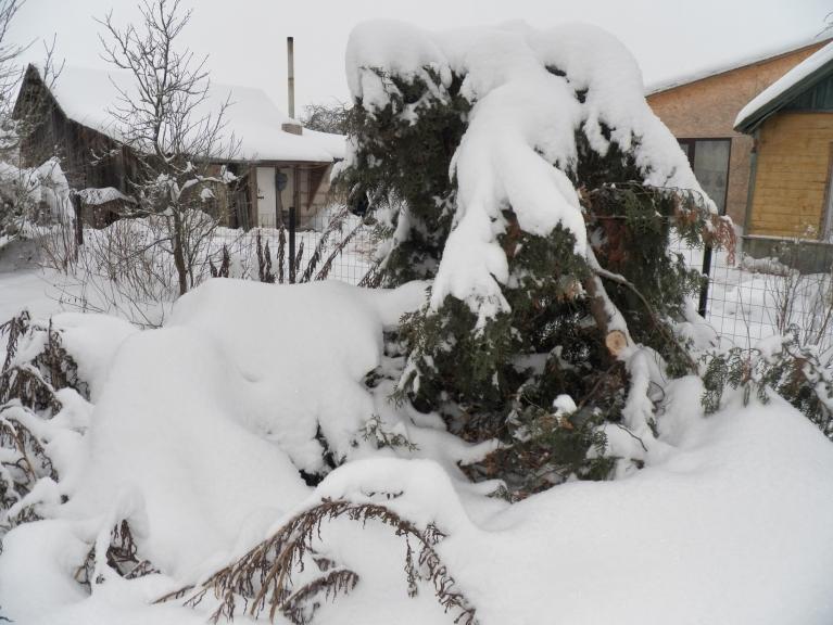 Snieglauze dārzā