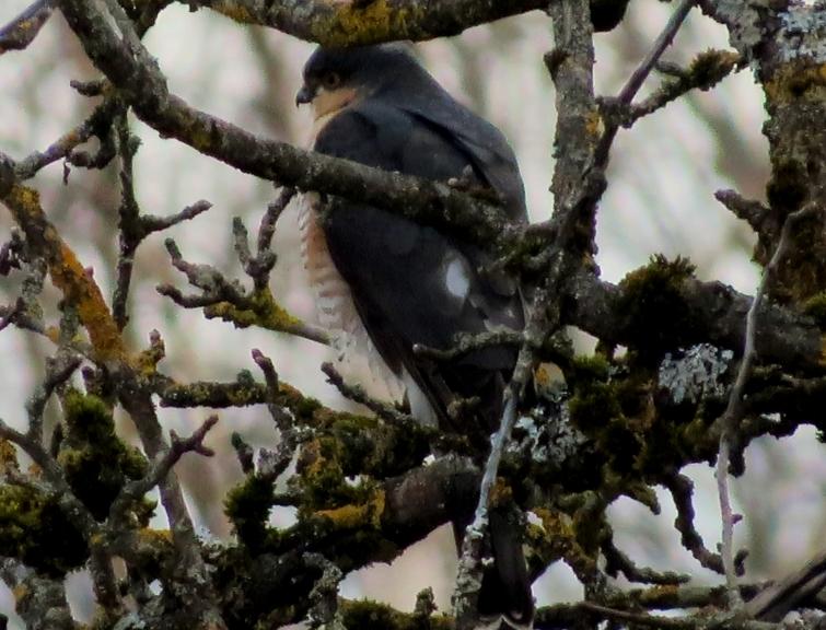 Mežābeles zarā ielaižas kāds, ko domāju esam no plēsīgo putnu cilts.
