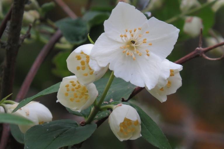 Jasmīns katrā zarā atvēris pa vienam ziedam, bet tālāk plaukt vēl negrib, laikam gaida siltāku laiku.