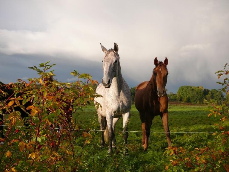 Zirgi ganībās