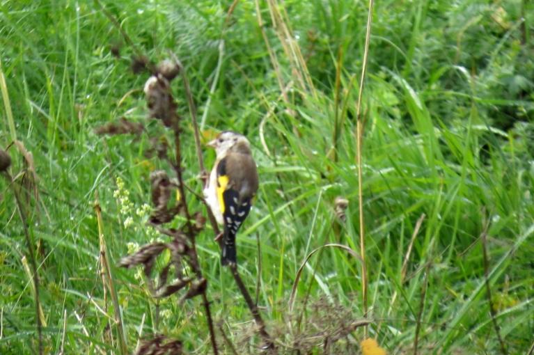 Uz brīdi dārzā iespurdz šo putniņu bariņš, kurus nu jau es pazīstu - tie ir dadzīši (Paldies N Westam!).