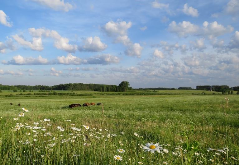 Zied margrietiņas, ielejas pļavās ganās zirgi.