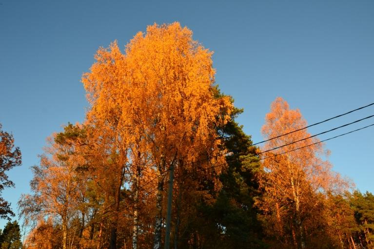 Saule jau gatavojas rietēt un iekrāso bērzus vēl košākos toņos kā dienas laikā. Un zelta rudens izbaudīts...