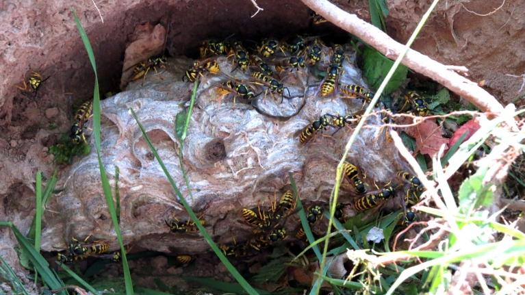 Šodien grāvmalā plaujot zāli, mani puikas atrada lapseņu pūzni, kas ierīkots zemē izkasītā bedrē, kurā pirms tam mājoja zemes bites. Laikam jau lietus tik ātri nebūs, ja reiz lapsenes nebaidās samirkt...?