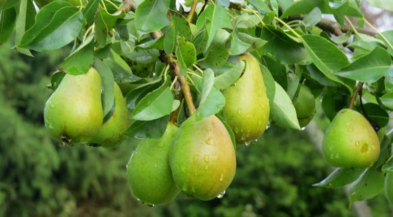 Jācer, ka mitrums palīdzēs briedināt augļus un dārzeņus.