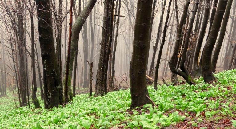 Kāpienā uz Chatkas Puscatkas virsotni. Taciņa vijas cauri dižskabāržu mežam, zem kura liels meža ķiploku (lakšu) klājiens.