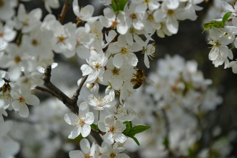 27. aprīlis. Ārā +18...+19, un siltajā laikā saplaukuši aliču ziedi, kas ar savu smaržu pievilina ne vienu vien apkārtnes biti...