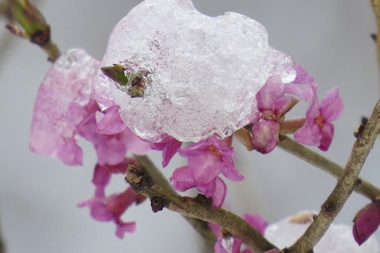 Mežmalā ieraugu ziedošu zalkteņu krūmu - skaists, bet ļoti indīgs augs.