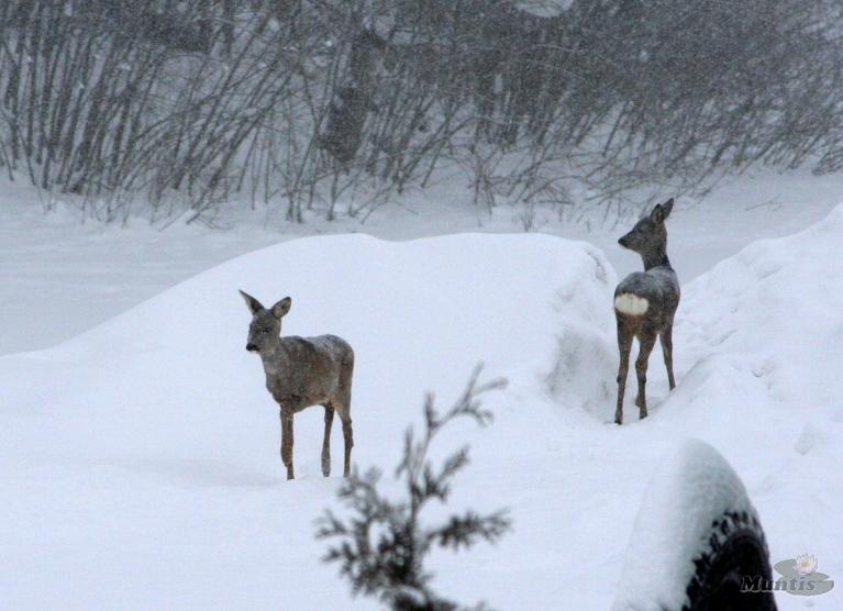 29.12.2010. Apmācies, neliels sniegs, lēns ZA, -5.