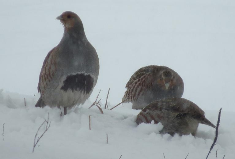 Putni zem sniega mēģina sameklēt ko ēdamu.