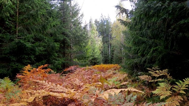 Pēcpusdienā dodos uz mežu un priecājos par dzeltenajām papardēm.