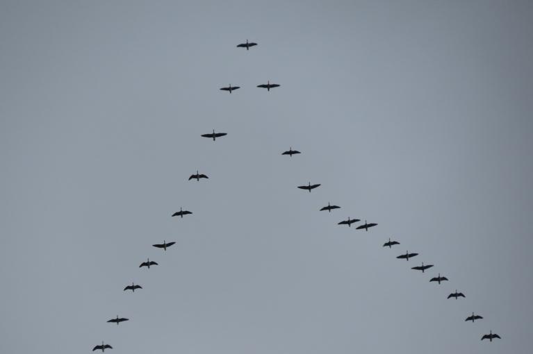 Šodien kāši uz dienvidiem lidoja nepārtraukti.