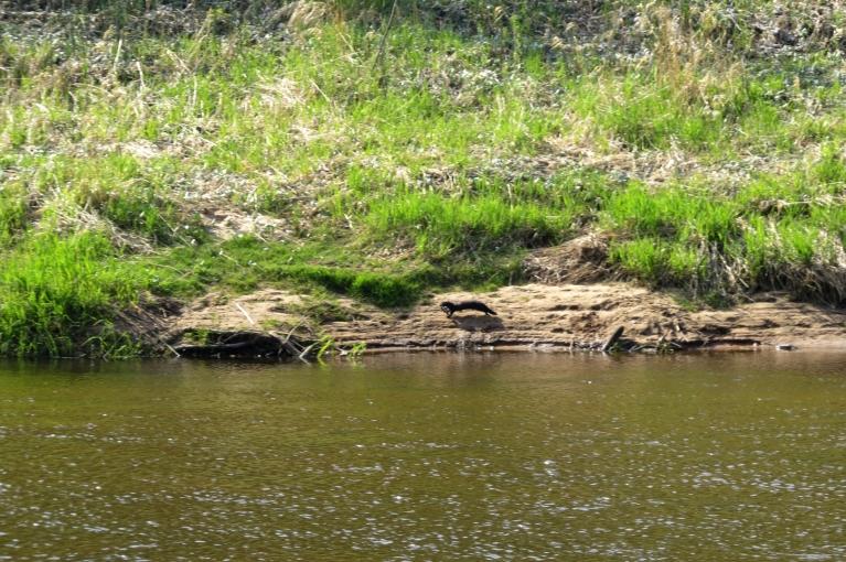 Pēkšņi pamanu upes pretējā krastā kustību.