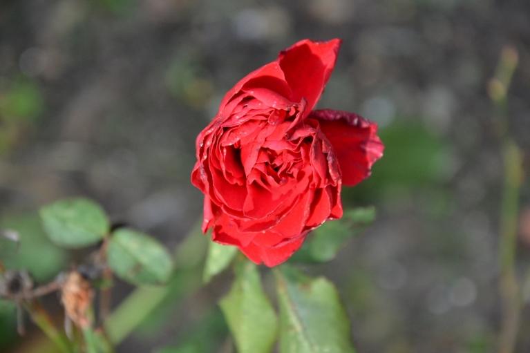 28. oktobris. +14, dobē zied salu pārcietusi roze.