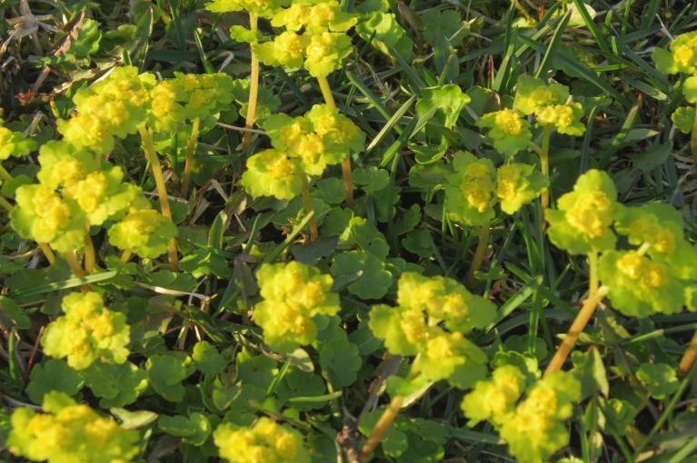 Kaimiņu zālienā pēc lietus parādījušās dzeltenīgas puķītes.