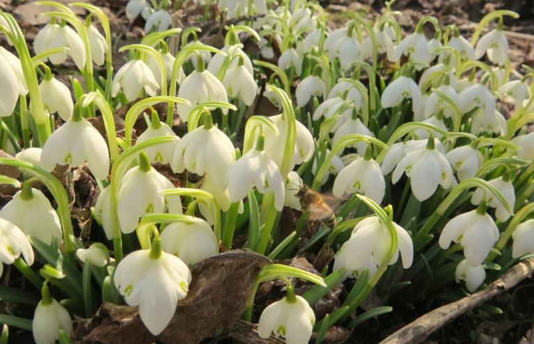 Vecajā ābeļdārzā zied sniegpulksteņi.
