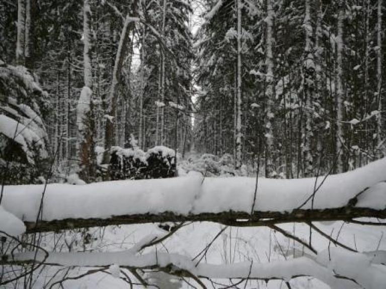 Autors: Migla. 15. janvāris Allažu mežos. Sniega sega ap 20 cm.