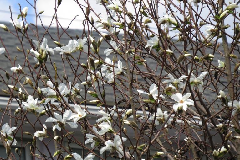 Izplaukusi arī magnolija.