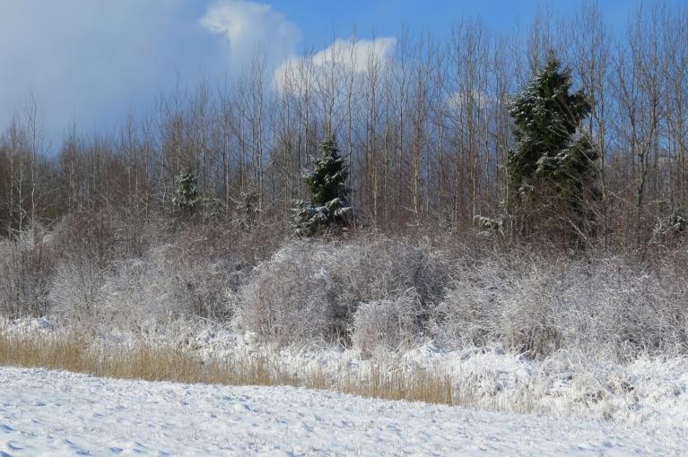 Vēl pēdējais skats uz balta sniega rotātiem kokiem.