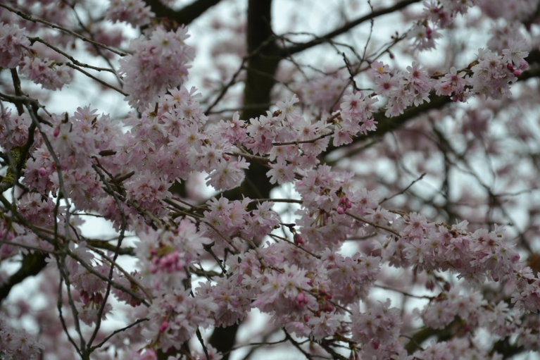 Citā parkā ne vien izplaukušas krūmu lapiņas un sāk vērties pirmie koku pumpuri, bet uzziedējusi arī dekoratīvā ābele liegi rozā ziediņiem. Tiesa, pelēkās debesis tos īpaši neizceļ.