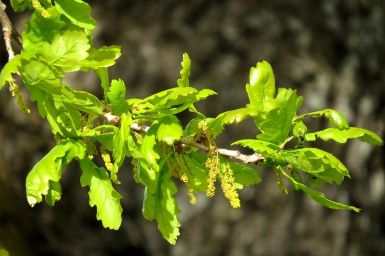 Glika ozoli zied...