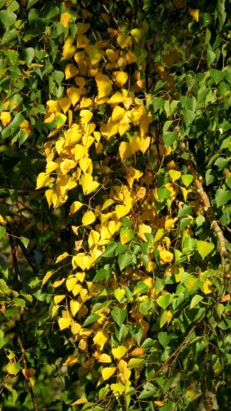Varētu jau par rudeni vēl nedomāt, ja ne bērza dzeltējošās lapas,